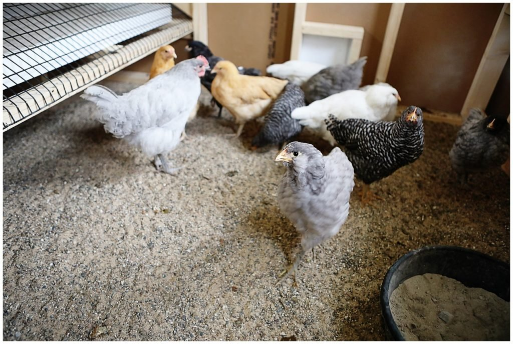 Should I get backyard chickens